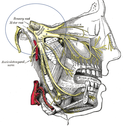 Fig. 1. The trigeminovascular system may be a prominent component in the circuitry of migraine.  Image: Grey's Anatomy Public Domain
